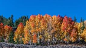 Autumn Aspen Row arkivfoton