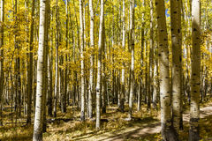 Autumn Aspen Trail Royalty Free Stock Image