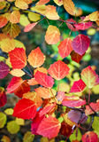 Autumn aspen tree. Autumn leaves of Aspen on the branches. Autumn Aspen tree with red leaves Stock Photos