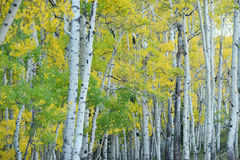 Autumn aspen tree Royalty Free Stock Photo