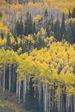 Autumn aspen tree Royalty Free Stock Photography