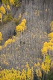 Autumn aspen tree Stock Image