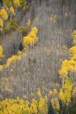 Autumn aspen tree Stock Image