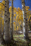 Autumn Aspen Trees Royalty Free Stock Images