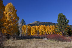 Autumn Aspen Trees Stock Photos