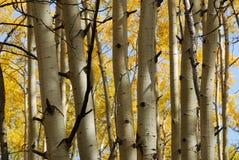 Autumn aspen trees Royalty Free Stock Photos