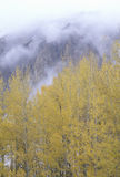 Autumn Aspen Trees and Clouds, Royalty Free Stock Image