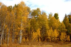 Autumn Aspen Trees dourado foto de stock
