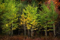 Autumn Aspen Trees Fall Colors Golden-Bladeren en Witte Boomstamkaart stock fotografie