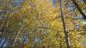 Autumn Aspen Trees, Nicola Valley, Brits Colombia 4K, UHD stock videobeelden