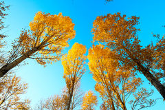The autumn aspen trees sunset and blue sky. The photo was taken in Jingyuan park Daqing city Heilongjiang province,China royalty free stock images