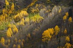 Autumn aspen trees Royalty Free Stock Image