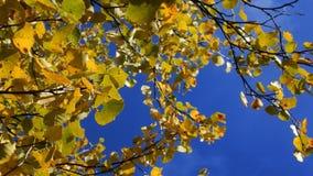 Autumn aspen, yellow foliage. Effect enhance color stock footage
