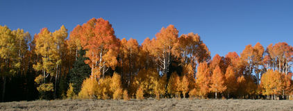 Autumn aspens Royalty Free Stock Photos