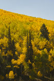 Autumn aspens. Golden autumn aspens near Aspen, Colorado Royalty Free Stock Photography