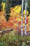 Autumn Aspens. Trunks of aspen trees in the wild forrest during fall royalty free stock photos