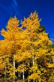 Autumn Aspens Royalty Free Stock Images