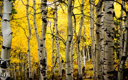 Autumn Aspens Fotografia de Stock Royalty Free