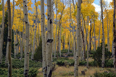 Autumn Aspens Photos libres de droits