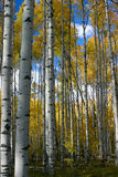 Autumn Aspens Blue Sky Royalty Free Stock Photo