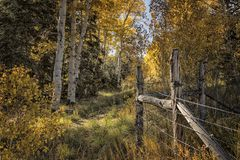 Autumn Aspens e uma linha de cerca Imagens de Stock
