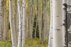 Autumn Aspens Elk Mountains stock photo