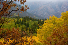 Autumn Aspens and Evergreens. The quaking autumn aspens and evergreens in the Wasatch Mountains royalty free stock photo
