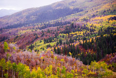 Autumn Aspens and Evergreens Stock Images