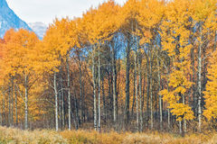 Autumn Aspens Royalty Free Stock Image