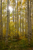 Autumn Aspens Lens Flare Royalty Free Stock Images