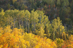 Autumn Aspens and Maple Viewed from Oberg Mountain in Northern M Royalty Free Stock Photos