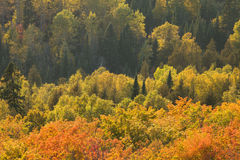 Autumn Aspens and Maple Viewed from Oberg Mountain in Northern M Royalty Free Stock Images