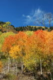 Autumn Aspens on McClure Pass. Red and yellow aspens on McClure Pass, Colorado Royalty Free Stock Images