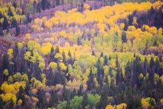 Autumn Aspens och evergreen royaltyfria foton