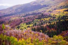 Autumn Aspens och evergreen arkivbilder