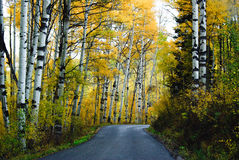 Autumn Aspens Royalty Free Stock Photo