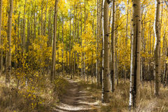 Autumn Aspens Trail Stock Photography