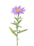 Autumn aster Stock Images