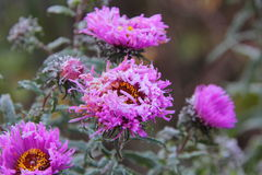 Autumn aster. Hoarfrost. Stock Photography