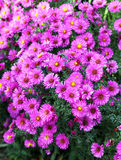 Autumn aster Stock Photo