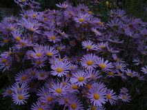 Autumn asters. Lilac asters bloom in the autumn garden Stock Photos