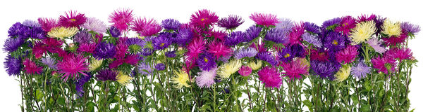 Autumn asters panoramic border Royalty Free Stock Photo