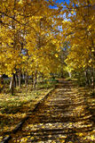 Autumn avenue. Trees with yellow foliage, prospect Stock Image