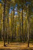 Autumn avenue. The birch avenue in the early fall in the hall an attire Royalty Free Stock Images