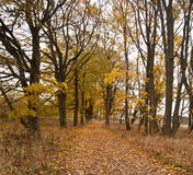 Autumn avenue of trees with fallen leaves Stock Image