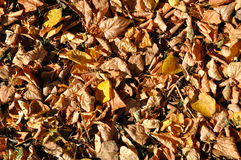 Autumn background. Background of yellow and brown autumn leaves captured in bright sunlight Royalty Free Stock Image