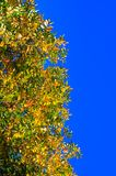 Autumn background. Colorful autumn leaves on blue sky background Royalty Free Stock Image