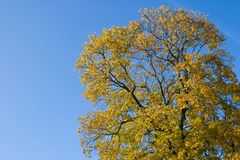 Autumn background. Yellow autumn tree against clear blue sky. Sunny day in Riga, Latvia royalty free stock images