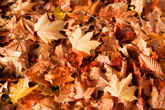 Autumn Background. Background of golden and reddish fallen autumn leaves Stock Photography