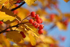 Autumn background. Yellow leaves with red mountain ash fruits of on blue sky background Royalty Free Stock Image